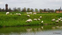 Schapen op de wal bij Heusden (ditmaliepaard) Tags: sony sheeps wal schapen heusden a6000