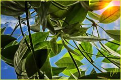 leaves (cliffhope73) Tags: light sky toronto ontario canada leaves nikon flare cliffhope