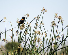 Red-winged Blackbird - Sepulveda - 2016-1220 (GDMatt) Tags: california wild plant bird nature beautiful one losangeles unitedstates wildlife watching birding peaceful places northamerica perched marsh blackbird redwingedblackbird sepulvedabasin aniimal singlebird