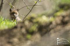Renardeau (Les Frres des Bois) Tags: cub fox redfox vulpesvulpes renardeau renard vulpes goupil renardroux