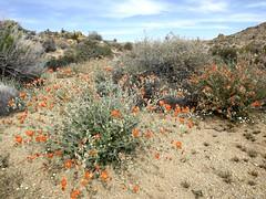mallow (h willome) Tags: california desert hiking joshuatree wildflowers joshuatreenationalpark 2016 cottonwoodsprings
