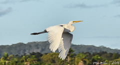 Eastern Great Egret in flight (Merrillie) Tags: trees nature birds animals fauna landscape bay flying nikon waterfront wildlife flight australia egret greategret brisbanewater woywoy d5500 nswcentralcoastnsw centralcoastnsw easterngreategret