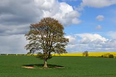 Sycamore Spring (AndyorDij) Tags: uk trees england tree field spring unitedkingdom sycamore fields rutland hedgerow oilseedrape 2016 empingham highfieldsfarm