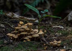 (hmxhm) Tags: newzealand nature olympus fungi wellington aotearoa zealandia