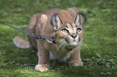 Kasten - Caracal, (Caracal caracal) (ToddLahman) Tags: cat caracal safaripark escondido sigma150500 sandiegozoosafaripark canon7dmkii