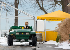 Dog is my Co-Pilot (_Matt_T_) Tags: snow golf pentax gator retreiver lakeontario companion johndeere notl workdog smcpda18135mmf3556edalifdcwr