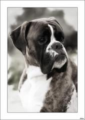 Cmo? (V- strom) Tags: textura amigo nikon perro hermano mirada ulises bxer