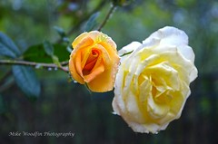 Yellow Rose (Mike Woodfin) Tags: park flower nature floral rose yellow contrast photoshop canon photography photo washington cool nikon pretty photos country picture photograph oaks thorn staugustine aa flagler palmcoast florial mikewoodfin mikewoodfinphotography