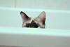 Shanti (Sandra Londono) Tags: cats cat kittens gatos beautifulcats httpsinstagramcomthemeowwhiskers httpswwwfacebookcomthemeowwhiskers1496906577302515refhl
