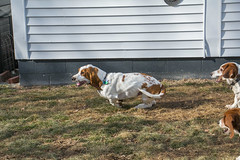 IMG_6102 (BFDfoster_dad) Tags: hound basset