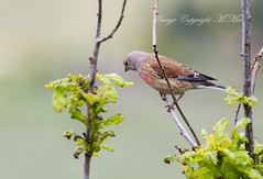 Linnet. (nondesigner59) Tags: bird nature wildlife archives linnet eos50d nondesigner nd59 copyrightmmee