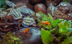 Endangered: Mantella Frogs ([bendersama]) Tags: orange chicago canon aquarium illinois amphibian frog adobe endangered sheddaquarium lightroom eos5d ef1740mmf4lusm mantellafrog
