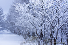 snow trees (nakashy) Tags: trees winter white snow color colour tree nature japan canon landscape photography eos photo 5d rime nagano 70200mm 2016 canoneos5dmarkiii 5dmk3 5d3