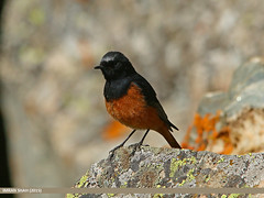 Black Redstart (Phoenicurus ochruros) (gilgit2) Tags: pakistan birds fauna canon geotagged wings wildlife feathers sigma tags location species category avifauna gilgit phoenicurusochruros naltar blackredstartphoenicurusochruros gilgitbaltistan sigma150500mmf563apodgoshsm imranshah canoneos70d gilgit2