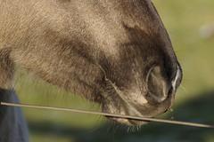 Konik-Pferde - 2016-004_Web (berni.radke) Tags: horse pferd konik konikhorses olfen steverauen konikpferde