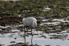 IMG_7099 (armadil) Tags: bird beach birds beaches egret snowyegret mavericks egrets snowyegrets californiabeaches