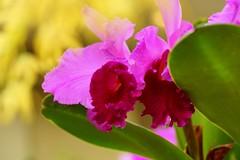 カトレヤ/Cattleya (nobuflickr) Tags: orchid flower nature japan kyoto 日本 cattleya 花 蘭 thekyotobotanicalgarden 京都府立植物園 ラン科カトレヤ属 カトレヤ 20160206dsc00763