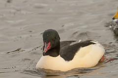 Male Goosander (roger_forster) Tags: park wild male bird scotland pond dundee angus mergusmerganser goosander strobsmuir