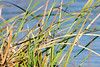 Citrine Wagtail (_DSF6211) (Param-Roving-Photog) Tags: bird water wildlife migratory punjab wetland wagtail citrine ramsar wintering ropar