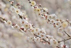 creamy white (snowshoe hare*) Tags: flowers white flower kyoto blossoms    plumblossoms japaneseapricot  kitanotenmangushrine  dsc0608