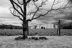 2016-02-14 (schauplatz) Tags: blackandwhite tree field silhouette blackwhite outdoor feld schwarzweiss baum daffodils narzisse osterglocke siedlung schwarzweis stuttgartrohr