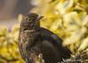 she's back (blackfox wildlife and nature imaging) Tags: birds wales canon 350d wildlife blackbird gardenbirds canon400mml