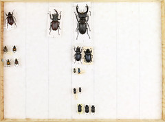 Coll. Owe Nodmar, Scarabaeoidea 8 (Biological museum, Lund University: Entomology) Tags: lucanidae cetoniinae eucheirinae