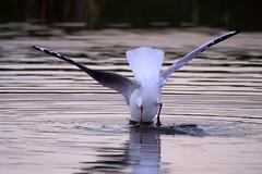 Waterdonken Breda februari 2016_002 (cees van gastel) Tags: seagulls nature birds vogels natuur diving breda meeuwen tamron70300mm ceesvangastel canoneos550d waterdonken waterakkers