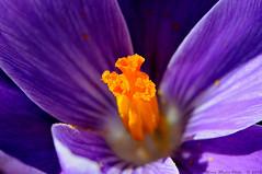 Crocus Sativus (ironmember) Tags: nikon 85mm crocus ombre sole fiore viola petali luce oro sfere pianta zafferano spezia micronikkor polline allaperto pistilli manolibera zafaran stimmi