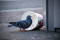 Inge Hoogendoorn (ingehoogendoorn) Tags: bird birds eating pigeon pigeons vogels kentuckyfriedchicken vogel duiven duif