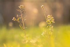 Despertar (Nathalie Le Bris) Tags: blur flower fleur grass sunrise alba flor amanecer aurora wakeup herbe réveil aurore hierba aube despertar leverdujour 7dwf