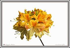 I COLORI DELLA NATURA (Salvatore Lo Faro) Tags: verde nature nikon natura giallo fiore rosso bianco salvatore bellezza d300 lofaro