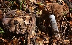"""Cortinarius cylindripes"" (or kin) mushroom with slimy cap and stem (Treebeard) Tags: california mushroom slimy santabarbaracounty sanmarcospass fagaceae quercusagrifolia basidiomycetes agaricales coastliveoak hymenomycetes cortinariaceae cortinariuscylindripes myxacium"
