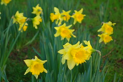 Happy St David's Day! (Dave Roberts3) Tags: yellow wales ngc newport daffodil gwent supershot citrit naturethroughthelens