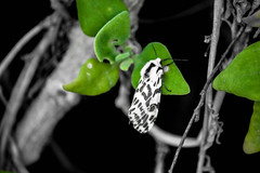 Tasmanie Hobart to Stanley (popochprod) Tags: wild color 1 tasmania onecolor 5050 bichrome blackgreen blackcolor popochprod colorwhith