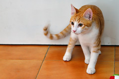 Gato Jinks  (6) (adopcionesfelinasvalencia) Tags: gato jinks