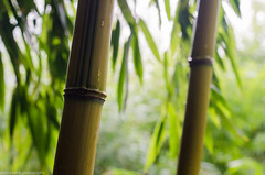Bamboo (phlpp.hrm) Tags: plant detail green nature leaves nikon bokeh outdoor natur pflanze bamboo grn bltter botanics bambus botanik d7000