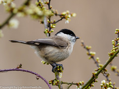 Marsh Tit (xrxss15) Tags: birds animals germany tiere europe aves vgel animalia badenwrttemberg marshtit paridae poecilepalustris waghusel sumpfmeise nonnenmeise titsandchickadees wagbachniederung