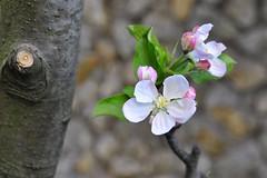 apples are on the way :) (yonca60) Tags: flower tree apple fruit turkey spring blossom sapanca bahar appleblossoms sakarya