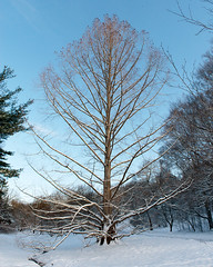 Metasequoia glyptostroboides (Dawn Redwood) (Plant Image Library) Tags: trees snow tree ecology spring profile science mature danny april shrub deciduous shrubs arnoldarboretum conifer 2016 dawnredwood metasequoiaglyptostroboides schissler 52448z dannyschissler