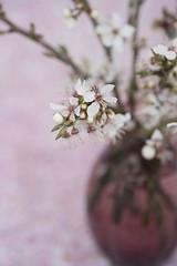 cherry blossom vase (photoart33) Tags: pink flowers stilllife white spring vase cherryblossom