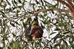 Flying Fox (Jenn.1771) Tags: bat australia victoria flyingfox bairnsdale eastgippsland