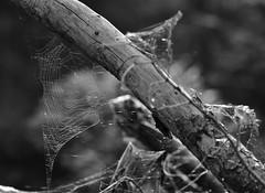 Cobweb (heiko.moser) Tags: bw blancoynegro nature forest canon mono woods noiretblanc natur natura nb cobweb sw monochrom schwarzweiss wald nero nahaufnahme discover einfarbig schwarzweis blackwihte entdecken heikomoser