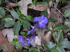 Periwinkle (debstromquist) Tags: illinois spring deadleaves il periwinkle plano springflowers momshouse purpleflowers floweringgroundcover