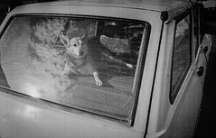 Dog (in Car) (DomiKetu) Tags: blackandwhite bw dog black film monochrome car 35mm mono blackwhite grain analogue expired sibiu selfdeveloped c41 caffenol homemadesoup blackwhitephotos caffenolcm