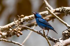 Blue Dacnis 20160306-DSC06393- Panama (GRH7447) Tags: panama bluedacnis metropolitannaturepark
