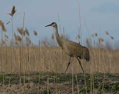 Sandhill Crane  Walkabout (a56jewell) Tags: bird grass outdoors spring crane april sandhill waterway longpoint a56jeell