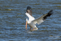 American White Pelican fishing sequence - 7 of 20