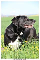 2 (aurelierouyer) Tags: portrait chien canon eos labrador blacklab pooky printemps fleuri mydog canin 70d lovelydog petitamour