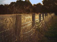 Rural nostalgia_c (gnarlydog) Tags: sunset reflection grass rural perspective australia manualfocus goldenhour softlight fencepost fenceline vintagelens adaptedlens pentax11070mmf28